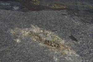Baumgruppe im neuen Lavafluss