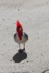 Der rote Kardinal